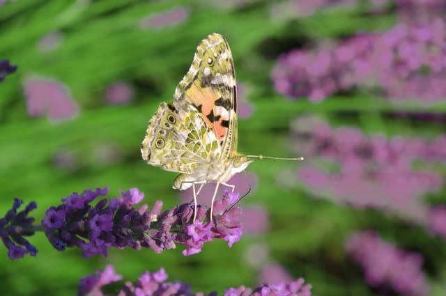 Un papillon sur de la lavande