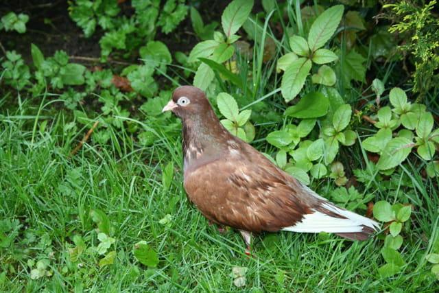 un pigeon bagu dans mon jardin par bernard enrici sur l 39 internaute. Black Bedroom Furniture Sets. Home Design Ideas