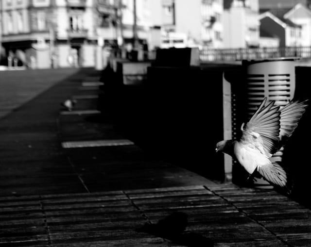 Un pigeon place Corbis