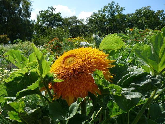 Un soleil  dans le  parc floral de Vincennes