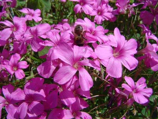 Une abeille au jardin
