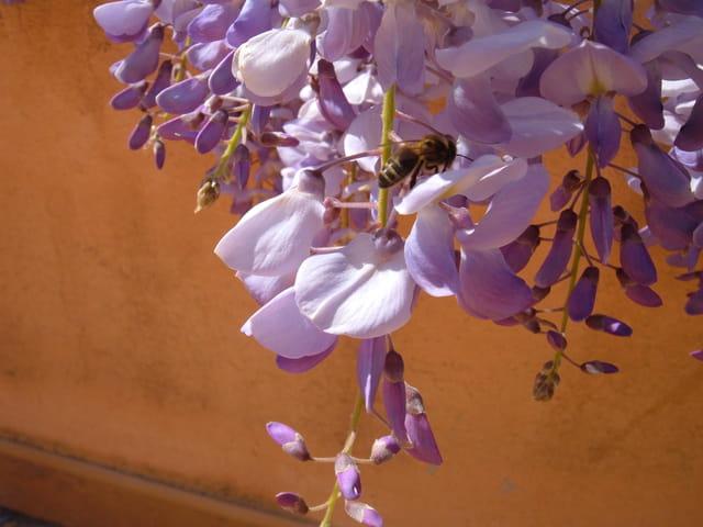 Une abeille dans la glycine