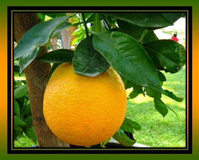 Une belle orange