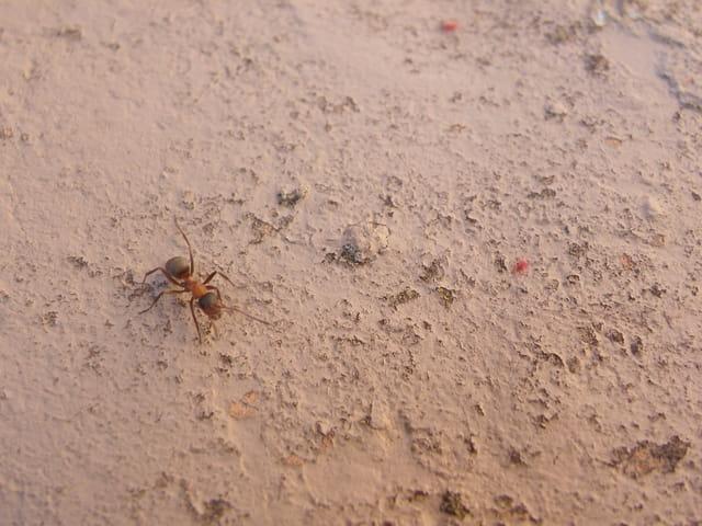 Une bien jolie fourmi