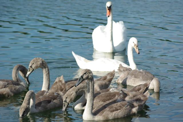 Une famille de cygnes