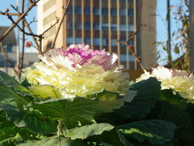 Une fleur en chou-fleur