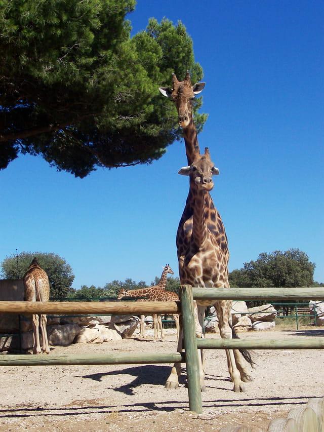 Une girafe à 2 têtes ?!