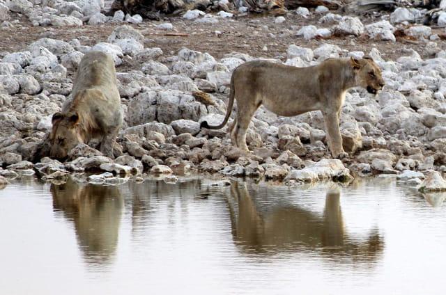 Une lionne et un jeune lion au point d'eau