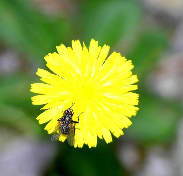 Une mouche sur une fleure jaune