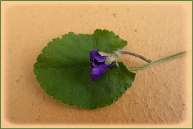 Une petite violette qui s'est trompée de saison