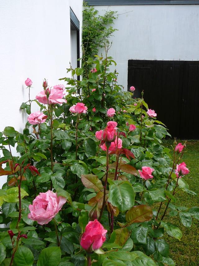 """Une rangée de rosiers """"Queen Elizabeth"""""""