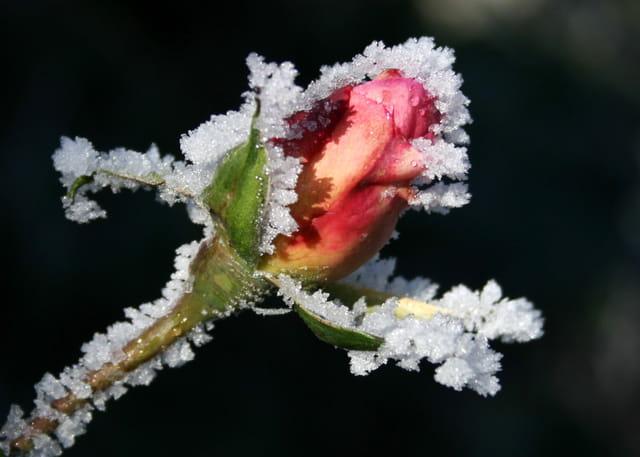 Une rose à noël