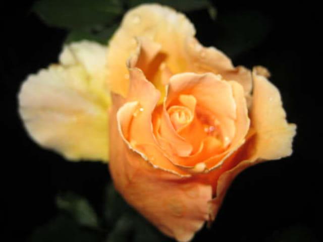 Une rose à peine éclose
