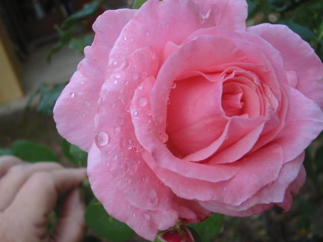 Une rose avec sa rosée du matin