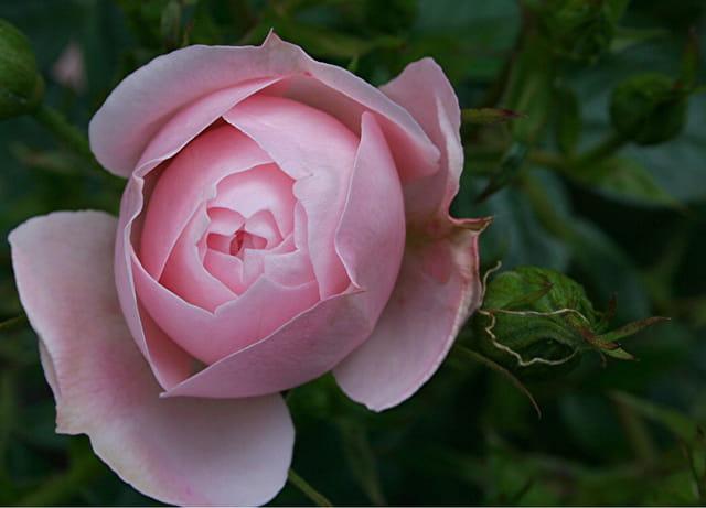 Une rose pour la fête des mamans