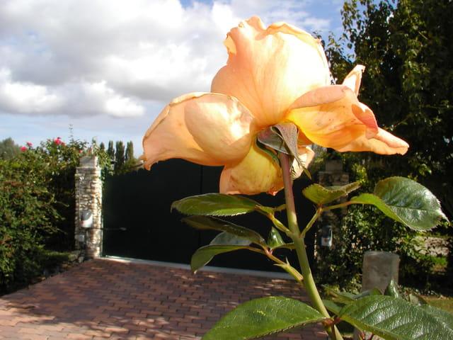 Une rose toute éclose