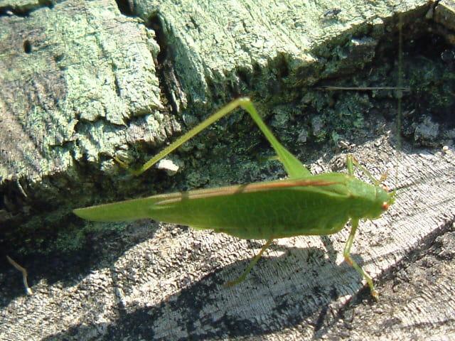 Une sauterelle égarée