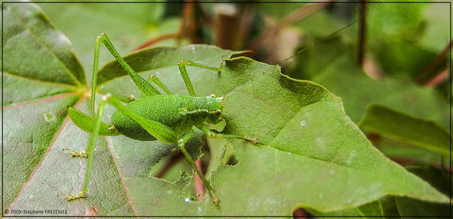 Une sauterelle Leptophyes punctatissima