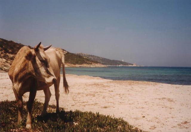 Une vache à la plage
