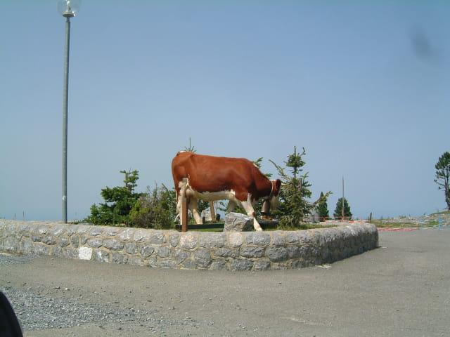 Une vache qui règle la circulation
