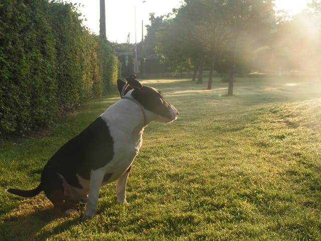 Urio mon bull terrier regarde la lumière