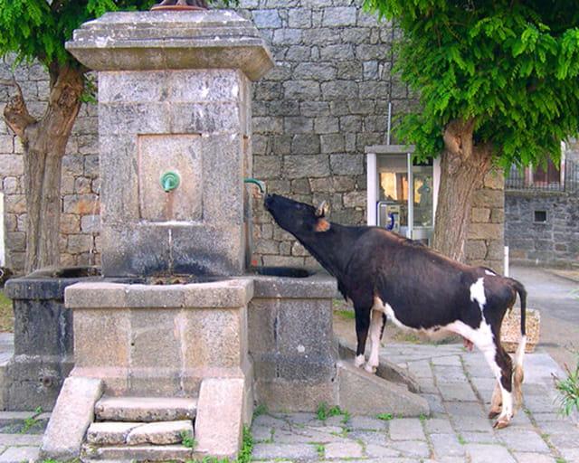 Vache à la fontaine