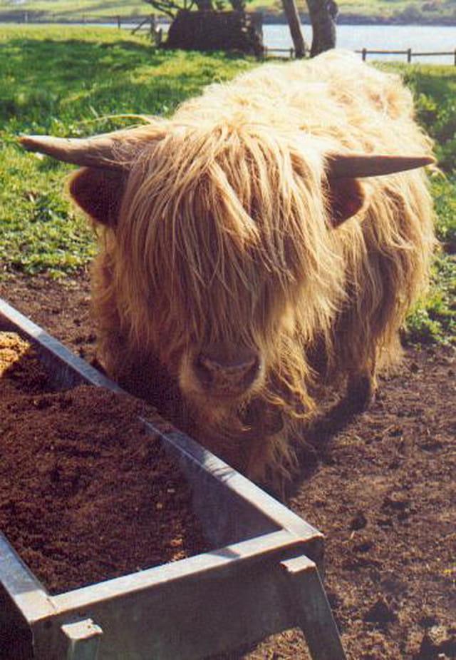 Vache à poils longs !