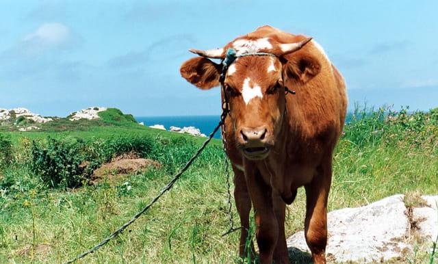 Vache de bréhat