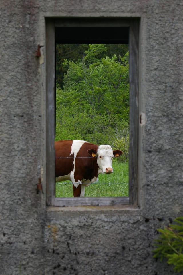Vache de cadre