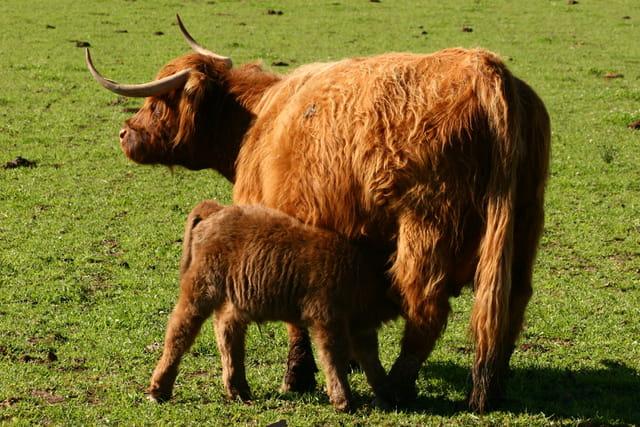 Vache  de race highland.