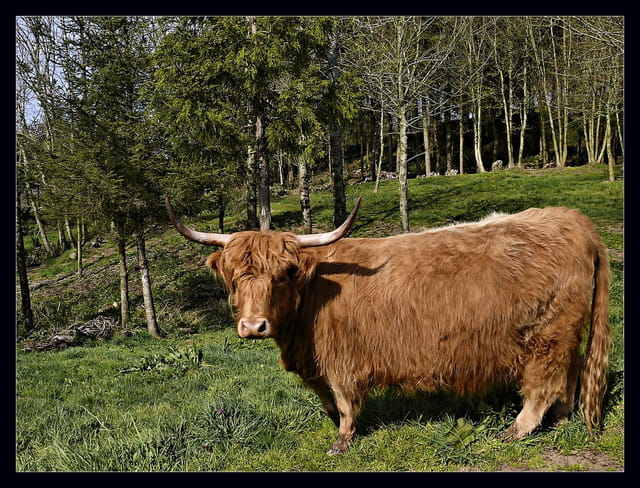 Vache  des Higlands