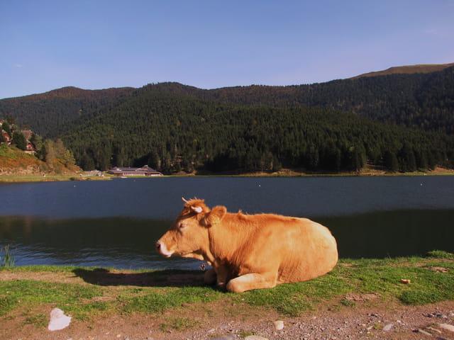 Vache en zone pastorale (Payolle).