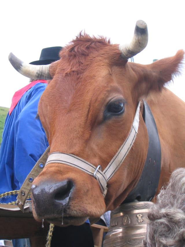 Vache - fête du village
