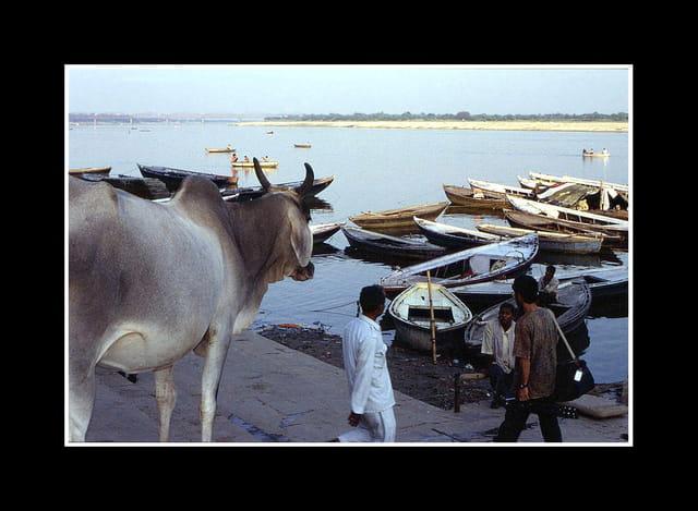 Vache sacrée sur les bords du gange