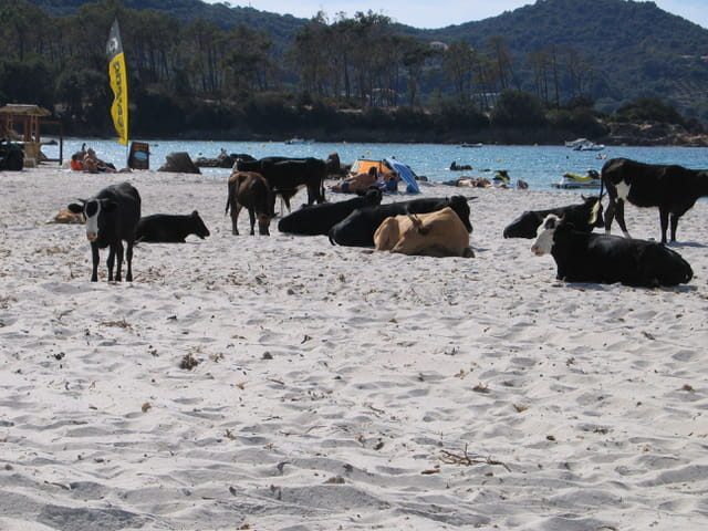 Vaches à la plage