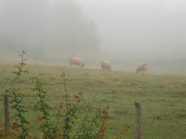 vaches dans le brouillard en aout