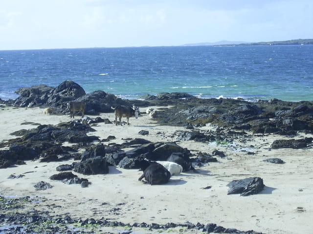 Vaches en irlande