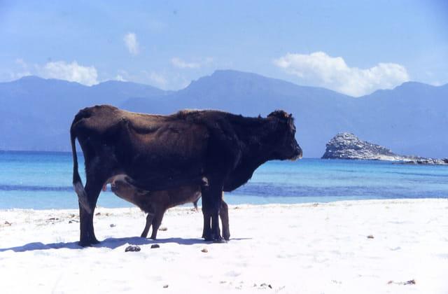 Vaches en vacance