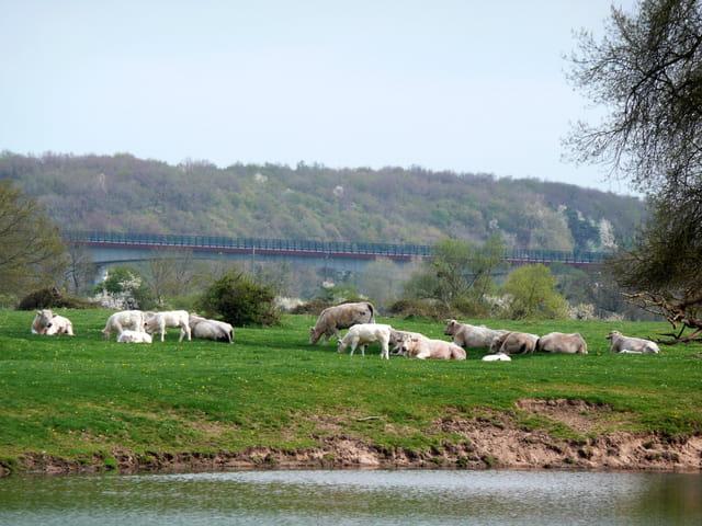Vaches paisibles près de la Loire