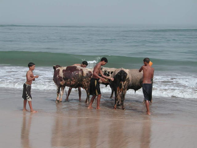 Vaches - plage