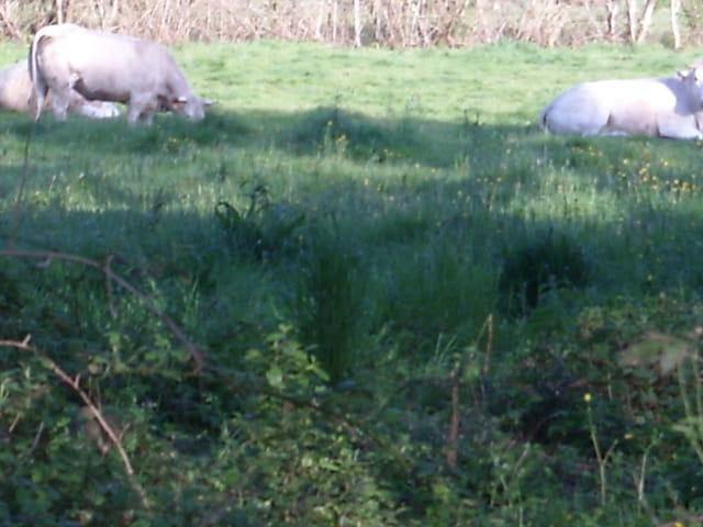 Vaches près de la ville