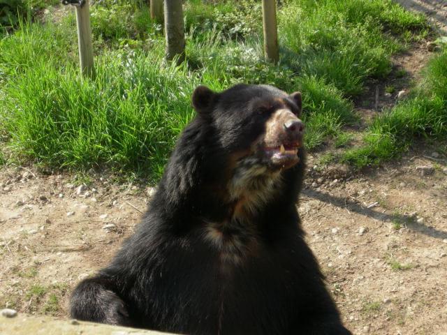 Valero l'ours à lunettes