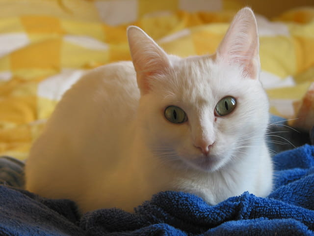 Vanille, un chat envoutant...