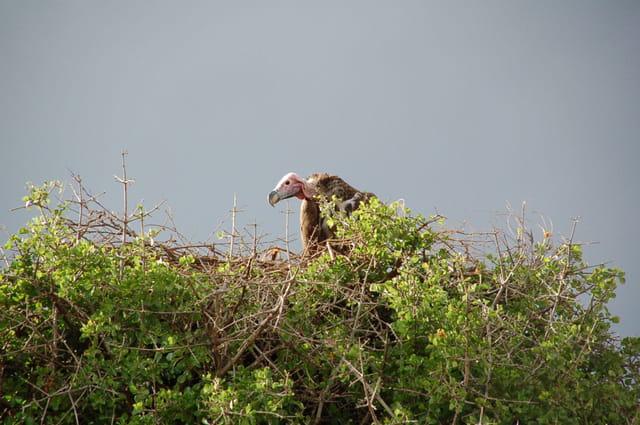 Vautour dans son nid