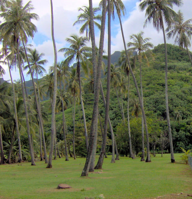 Verdoyance sous les cocotiers