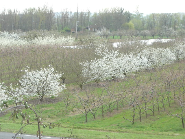 Vergers de pêchers et de cerisiers