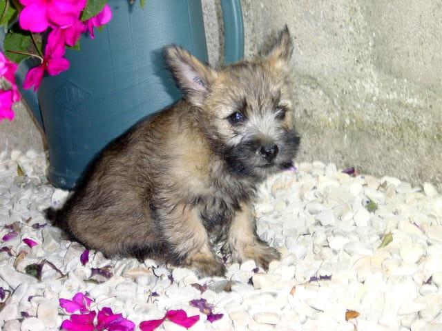 Véry, cairn terrier de 2 mois