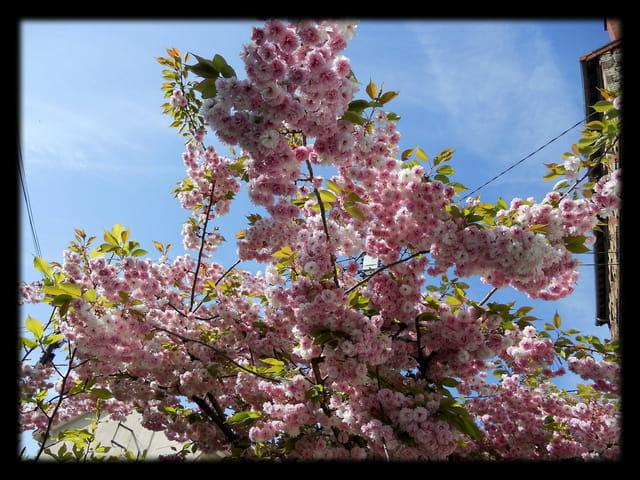 Vgx-Fleurs 7 - Fleurs de cerisier