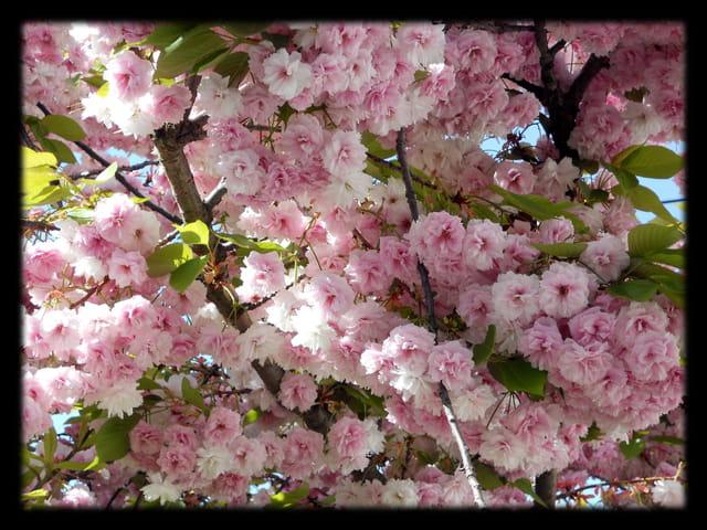 Vgx-Fleurs 9 - Fleurs de cerisier