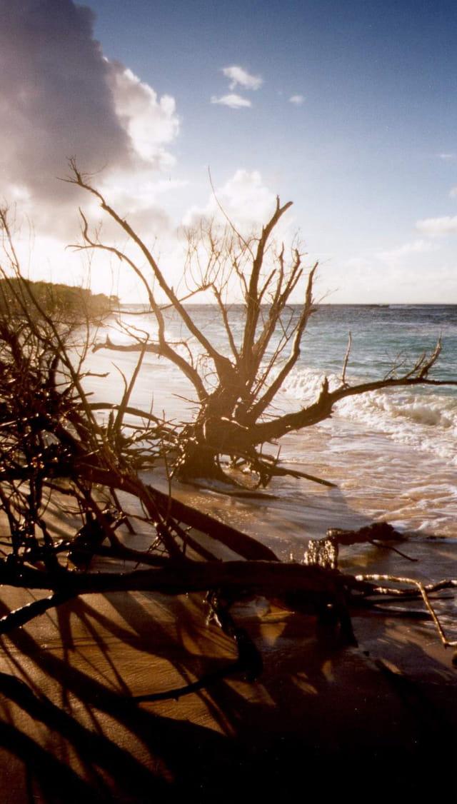 Vieille souche usée par la mer
